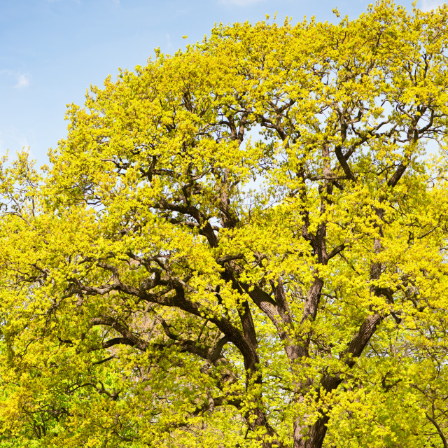 """Bright spring oak tree"" stock image"