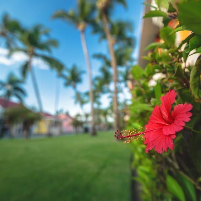 """Hibiscus Flower. Shallow DOF"" stock image"
