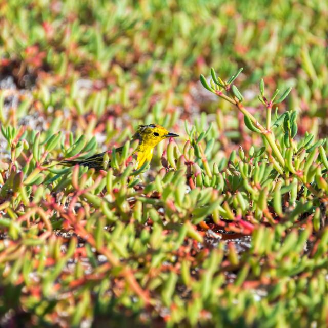 """""""Yellow Warbler"""" stock image"""