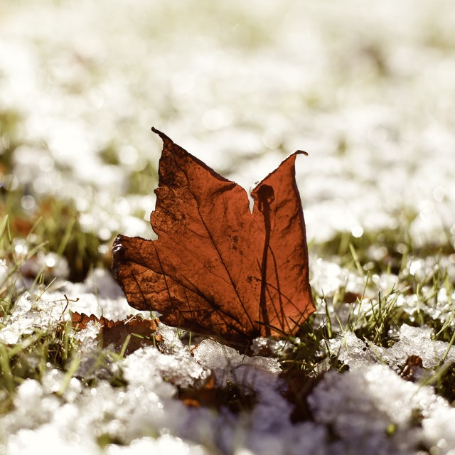 """Last Autumn Leaf Standing in First Snow of Winter Sepia"" stock image"