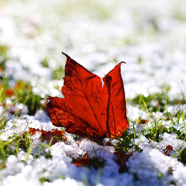 """Last Autumn Leaf Standing in First Snow of Winter"" stock image"