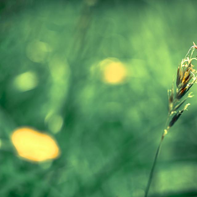 """Grass seed head"" stock image"