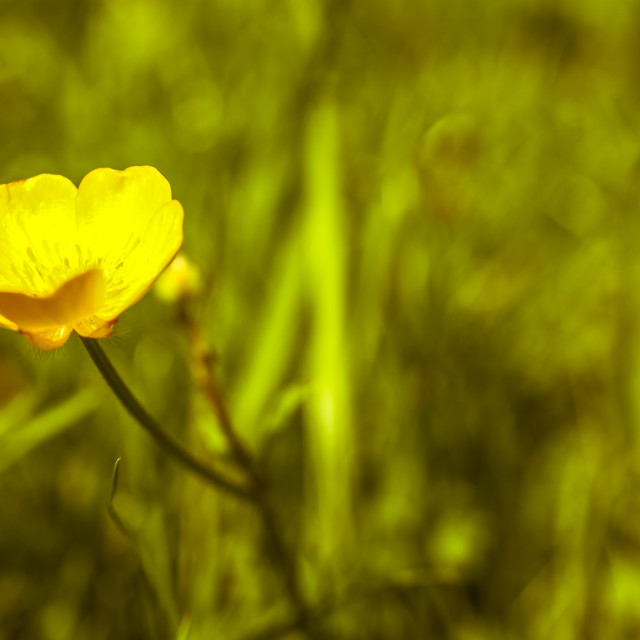"""""""Buttercup"""" stock image"""