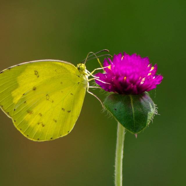 """Yellow butterfly on purple flower"" stock image"