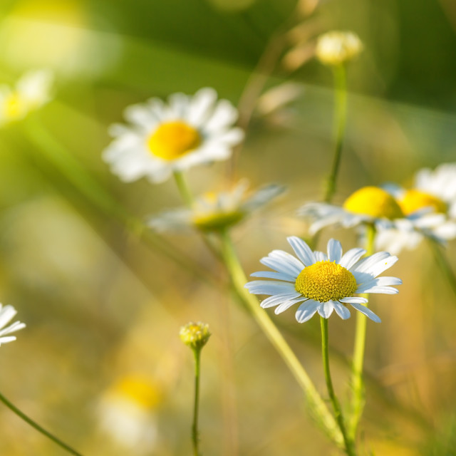 """""""spring meadow with daisies"""" stock image"""