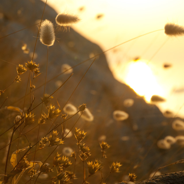 """Grasses in evening light, Croatia"" stock image"
