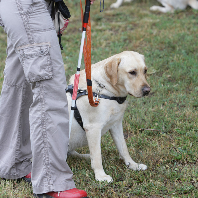 """""""Blind person walking with her guide dog"""" stock image"""