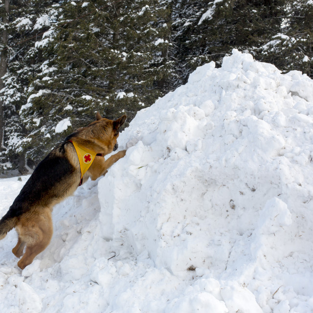 """""""Mountain Rescue Service dog at Bulgarian Red Cross during a training."""" stock image"""