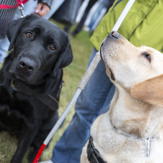 """""""Guide dogs"""" stock image"""