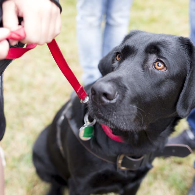 """Black labrador guide dog"" stock image"