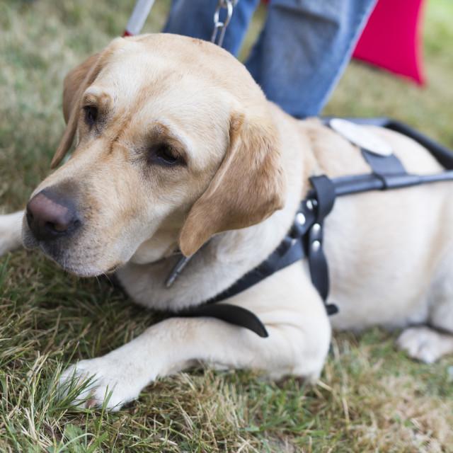 """""""Golden retriever guide dog"""" stock image"""