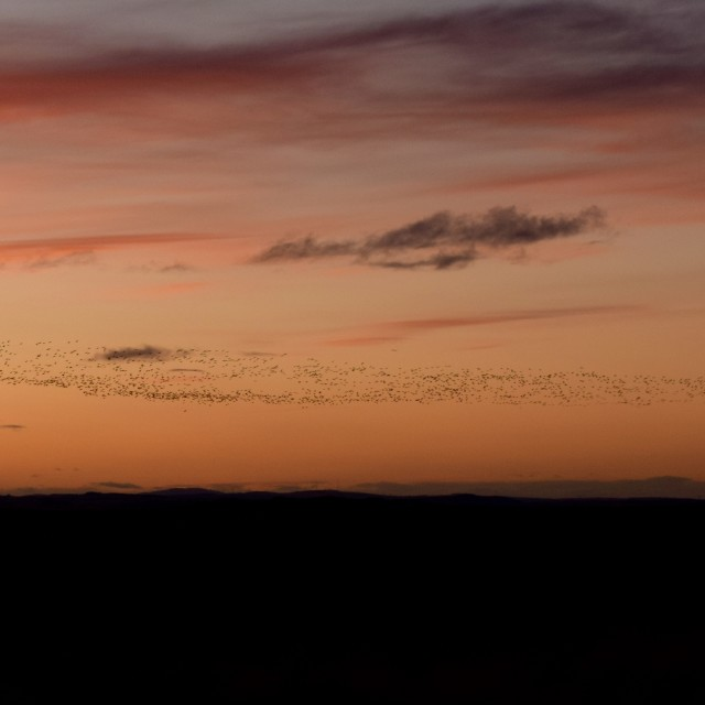 """""""Flock of Geese at Sunset"""" stock image"""