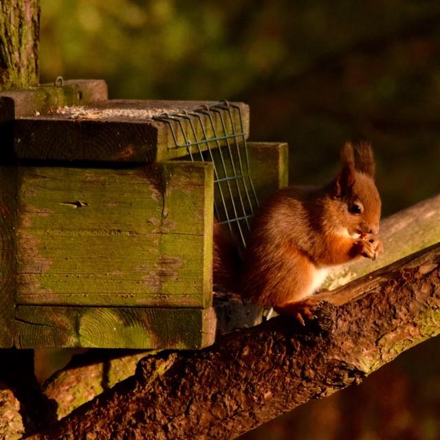 """""""Scottish Red Squirrel"""" stock image"""