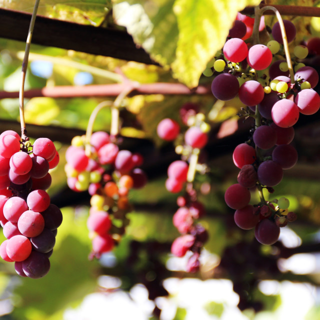 """Autumn grapes"" stock image"