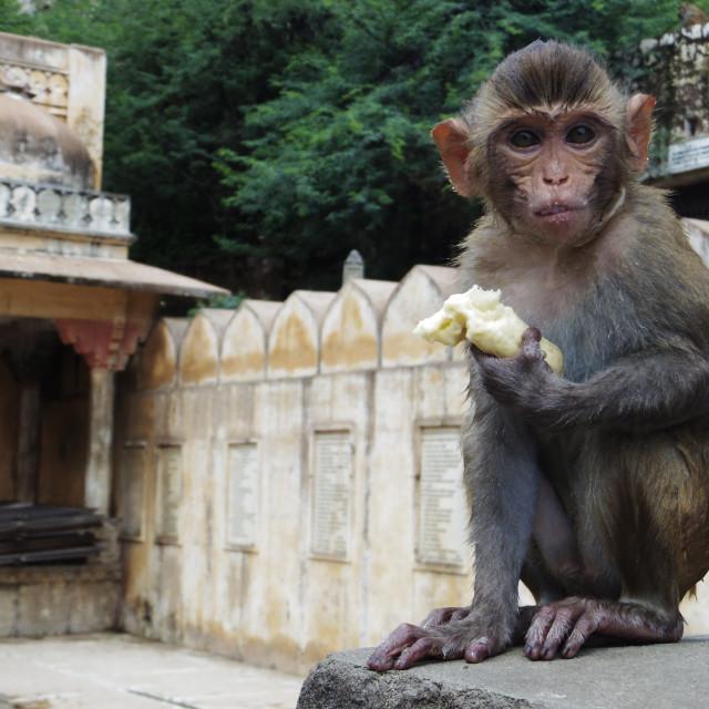 """Monkey eating banana"" stock image"