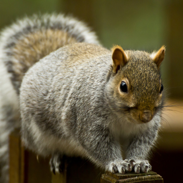 """""""Grey squirrel on a fence"""" stock image"""