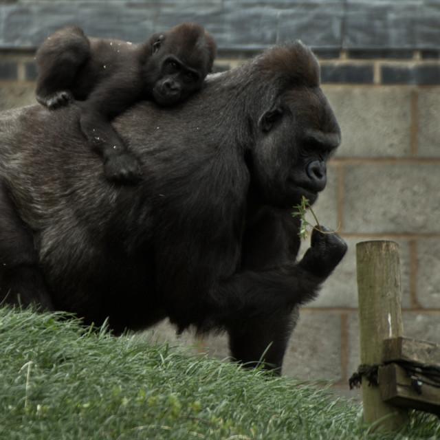 """Baby Gorilla ride"" stock image"