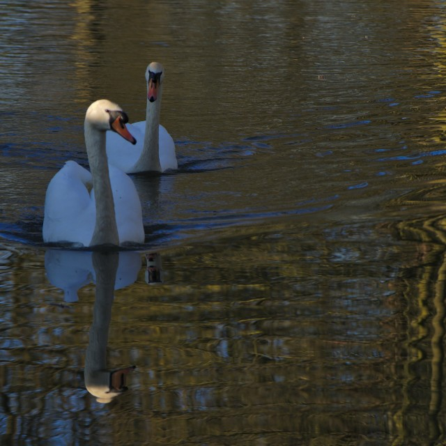 """Swan Couple"" stock image"