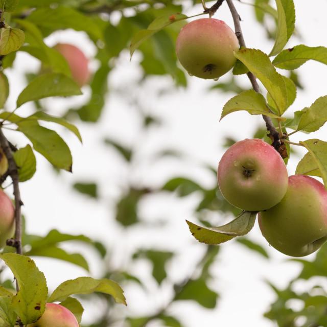 """Three apples"" stock image"
