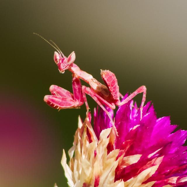 """Posing red mantis"" stock image"