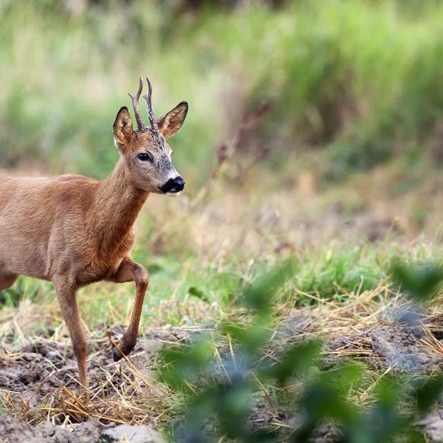 """""""Buck deer in the wild"""" stock image"""