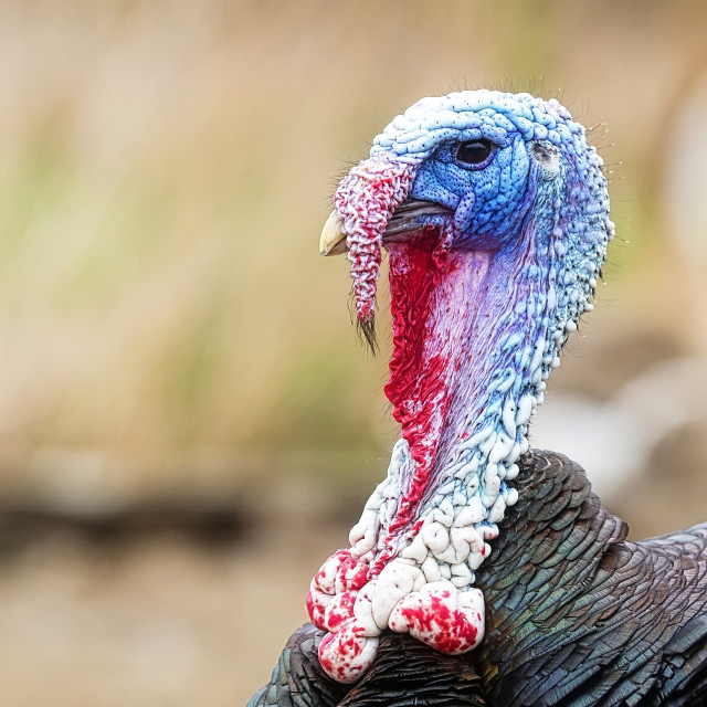 """Turkey on the farm"" stock image"