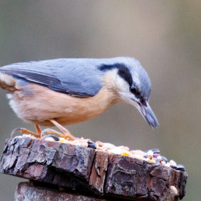 """Nuthatch"" stock image"