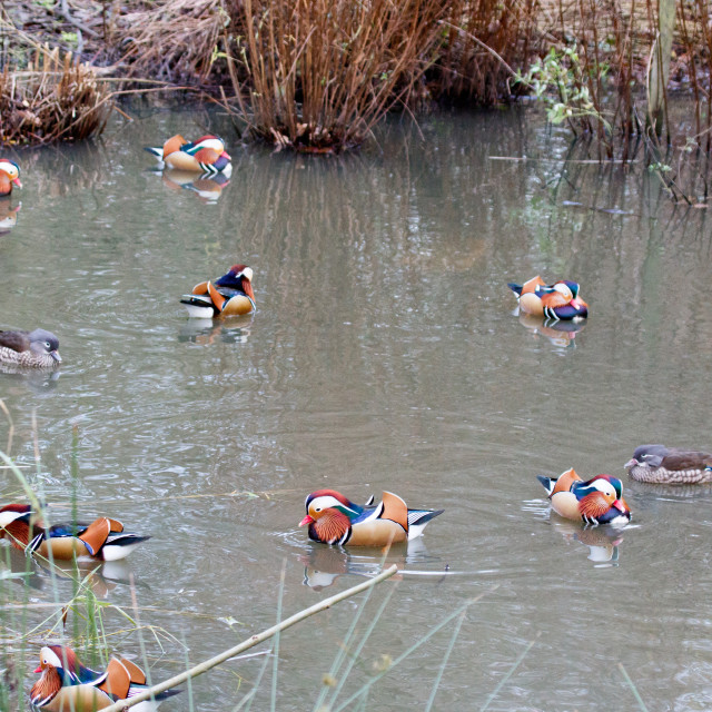 """Mandarin ducks"" stock image"