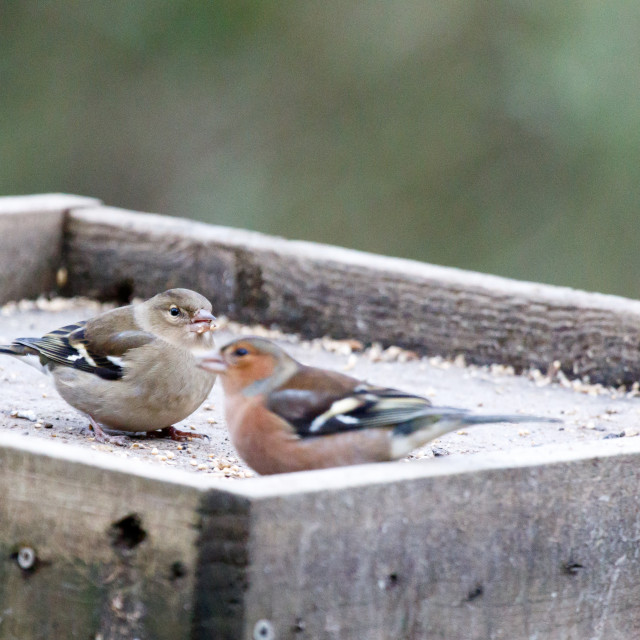 """Pair of chaffinches"" stock image"