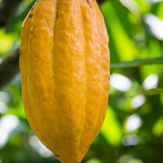 """Vertical Cocoa Pod"" stock image"