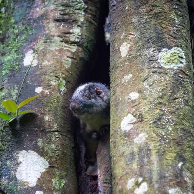 """Amazon Bamboo Rat"" stock image"