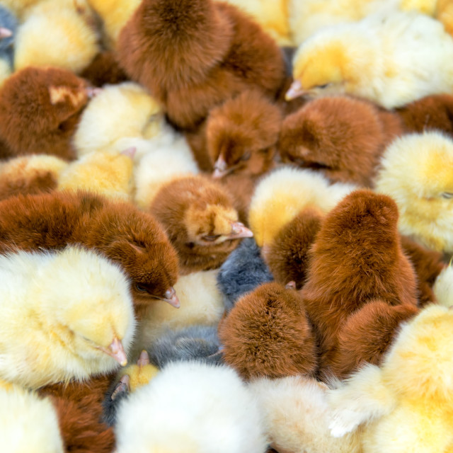 """Closeup of Chicks"" stock image"