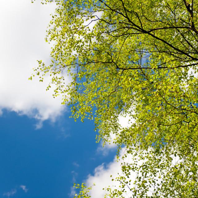 """Spring birch tree fresh foliage"" stock image"