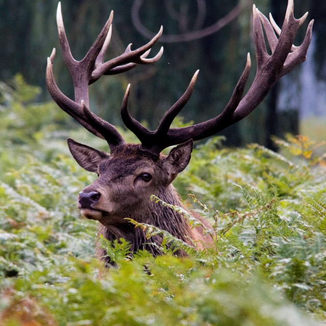 """Red Deer"" stock image"