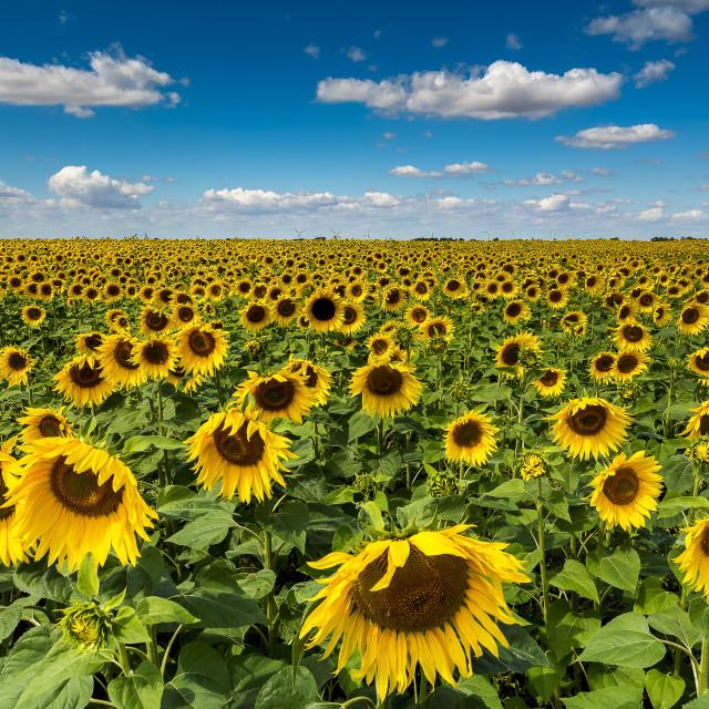 """Sunflower Heaven"" stock image"