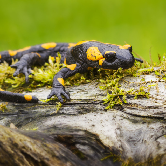 """Spotted Salamander"" stock image"