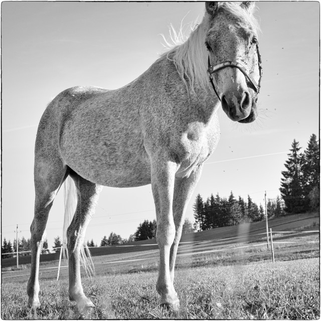 """""""Grey horse and flies"""" stock image"""