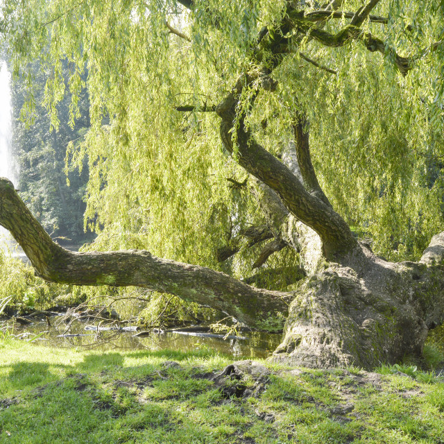 """""""Fairytale old tree in the park close to a lake"""" stock image"""