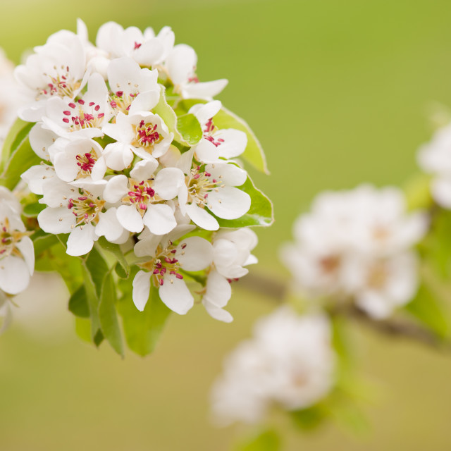 """White Pyrus abloom detail"" stock image"