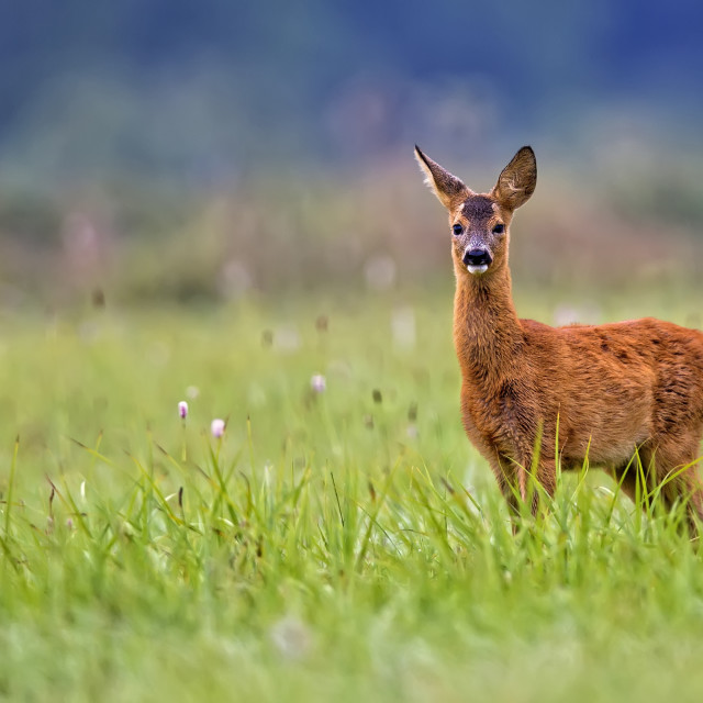 """Young roe-deer in a clearing"" stock image"