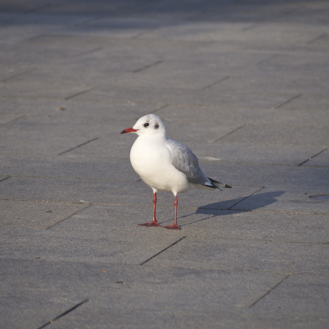 """Black-headed Gull at Asakusa_20151124"" stock image"