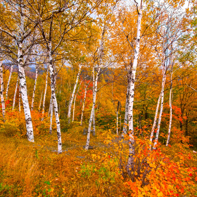 """Birch tree foliage landscape"" stock image"
