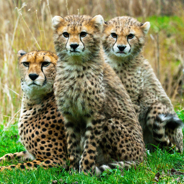 """Cheetah Family"" stock image"
