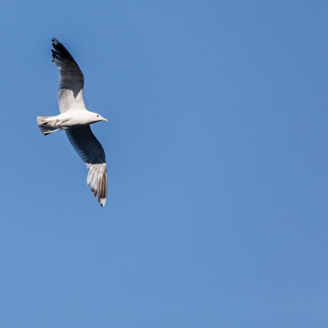 """""""Flying Gull"""" stock image"""