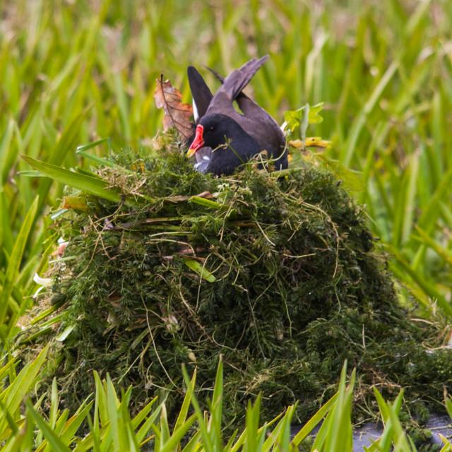 """Moorhen at Nest"" stock image"