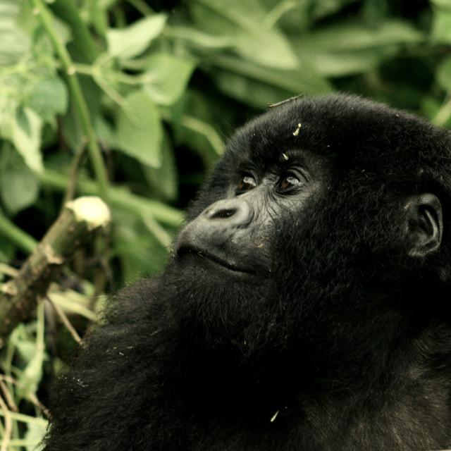 """Mountain gorilla of Rwanda"" stock image"