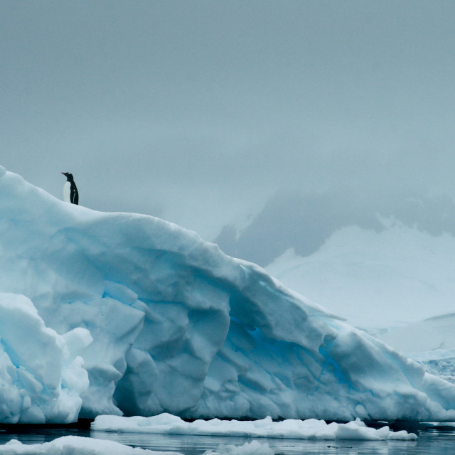"""Penguin on an iceberg"" stock image"