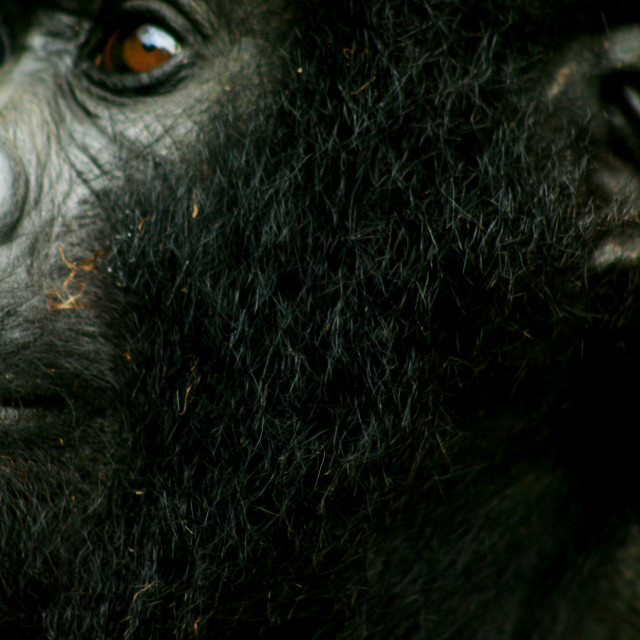 """Up close face of a mountain gorilla"" stock image"