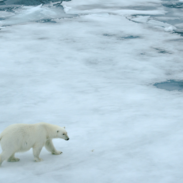 """Polar bear wandering the sea ice"" stock image"