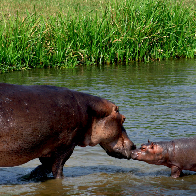 """Kissing hippos"" stock image"